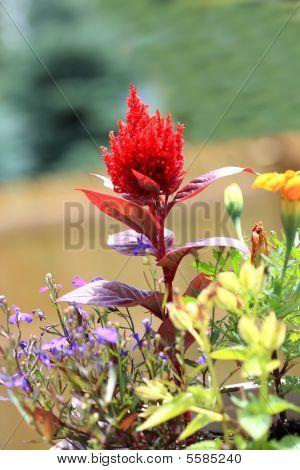 Celosia Plumosa