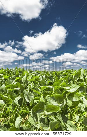 Green Leaves And Blue Sky With Cotton Clouds