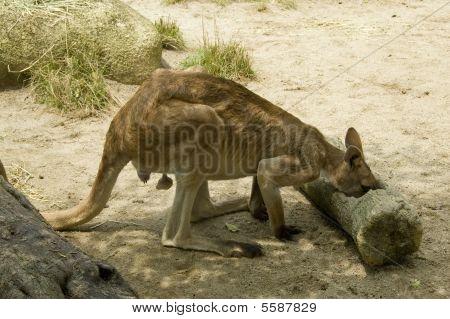 Kangaroo Eating