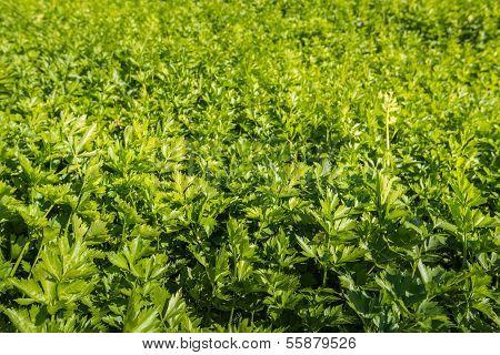 Closeup Of A Field Filled With Celeriac