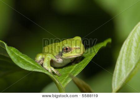 Immature Gray Tree Frog