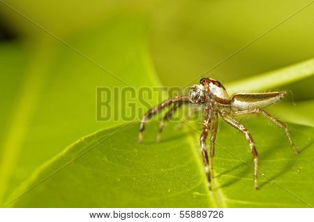long-legged jumping spider