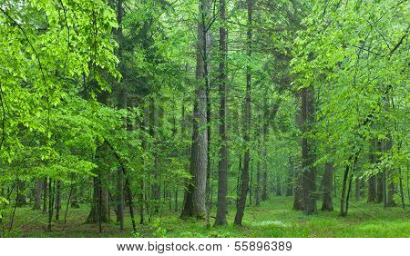 Old Oaks In Summer Misty Forest