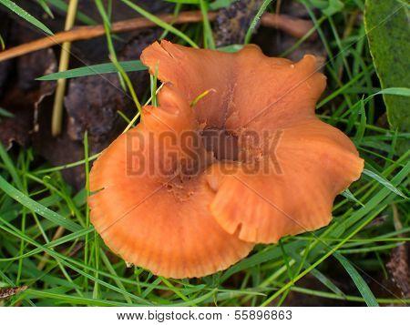 Laccaria Spec. Or Deceiver Mushroom