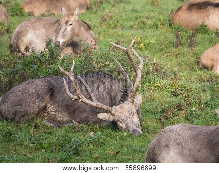Group Of Pere David's Deer Waking Up