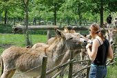 Donkeys Being Fed By Girl.