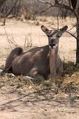 foto of bosveld  - Kudu Cow taking cover against the South African Sun under a Bushvelt Tree - JPG