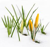stock photo of early spring  - Yellow crocus flowers growing in snow during spring - JPG