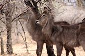 image of bosveld  - Alert Waterbuck Listening Carefully to Every Sound - JPG