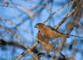 picture of crossbill  - Wild bird in a natural habitat. Wildlife Photography.