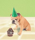 pic of ear candle  - a bulldog looking at a piece of birthday cake done in retro vintage style for a greeting card - JPG