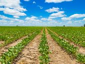 pic of soybeans  - Rows of growing soybean crops under a beautiful blue sky