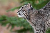 pic of bobcat  - Bobcat Kitten  - JPG