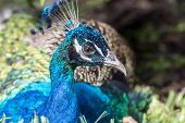 stock photo of indian peafowl  - Peafowl are two Asiatic and one African species of flying bird in the genus Pavo of the pheasant family PhasianidaeMale Indian Peacock - JPG