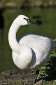 picture of trumpeter swan  - Trumpeter Swan - Cygnus buccinator Standing on one leg - JPG
