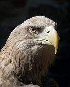 stock photo of steppes  - The Steppe Eagle  - JPG