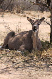 picture of bosveld  - Kudu Cow taking cover against the South African Sun under a Bushvelt Tree - JPG