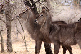 picture of bosveld  - Alert Waterbuck Listening Carefully to Every Sound - JPG