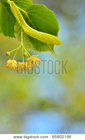 Linden blossoms at tree in spring time