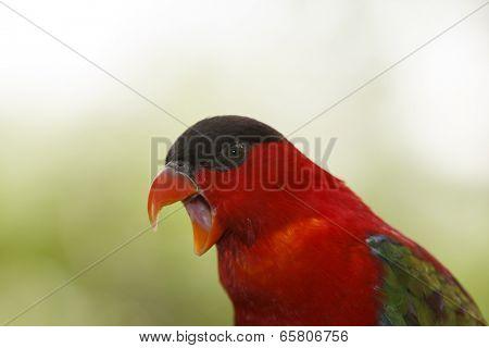 Red Lory bird portrait