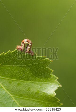 Mottled Umber (erannis Defoliaria)