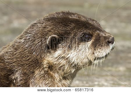 Otter( Lutra Lutra)