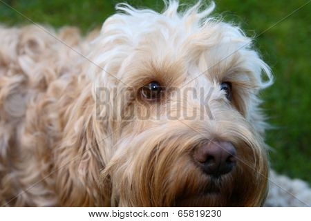 cockapoo puppy face