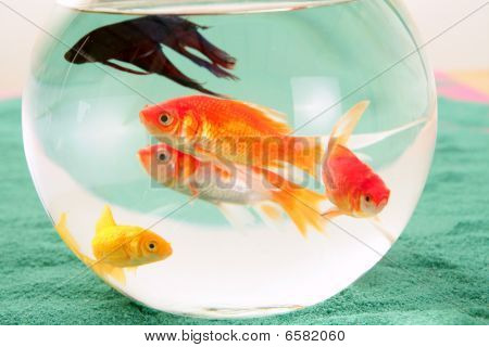 fishes in a round glass bowl red carps green background