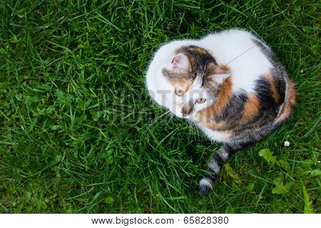 top view of house calico cat sitting in fresh green grass