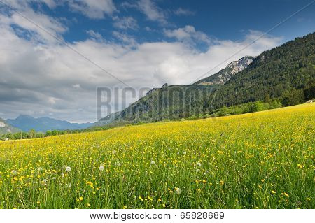 greem yellow meadow full of dandelions with mountain at summer