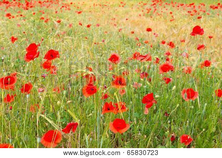 Red poppy field.