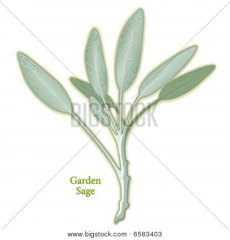 Fresh Garden Sage