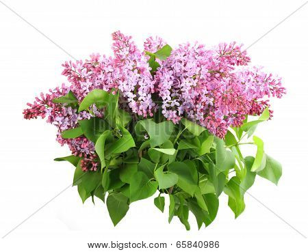 Bouquet Of Purple Lilac On White
