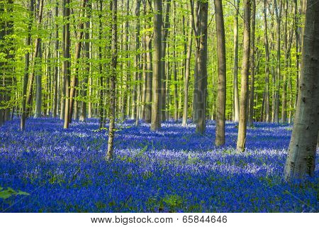 Blue And Green / Colorful Bluebells Forest