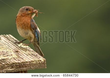 Bluebird With Moth In Beak