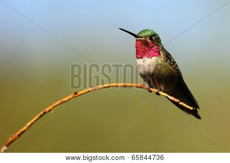 Hummingbird On Willow Perch