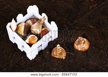 Flower bulbs on humus background