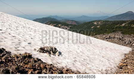 Large Breed Dog Laying Snowfield High Mountain Oregon Cascade Trail