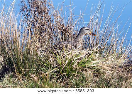 Female mallard walking through the grass near a pond