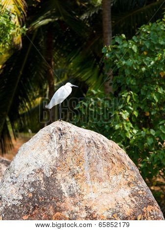 Egret Bird In The Kerala Backwaters Jungle