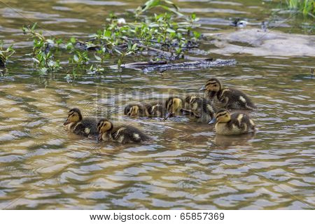 Groups Of Ducklings Ducklings Swimming Together