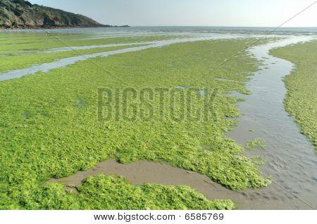 Green Sea-weed