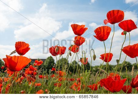 Red Flowering Poppies Against A Blue Sky.