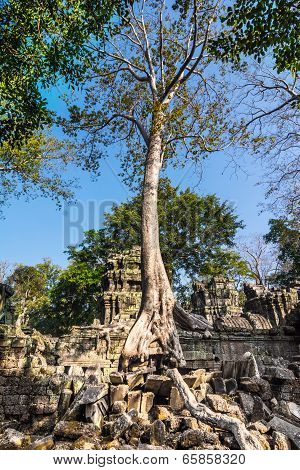 Tree at Ta Prohm, Cambodia