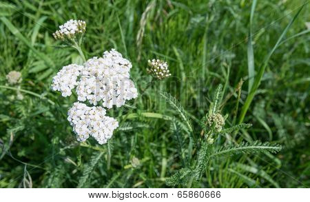 White Flowering Common Yarrow