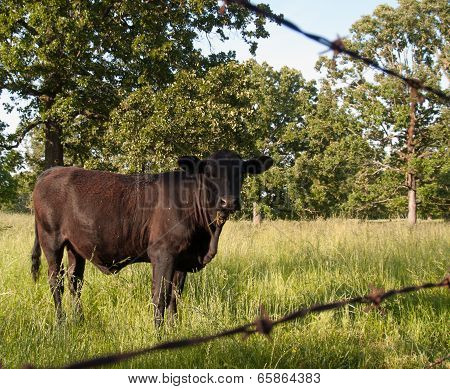 Cow inside fence