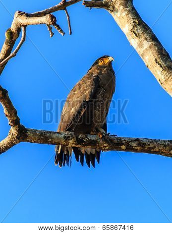 Crested Serpent Eagle On A Branch Next To The River