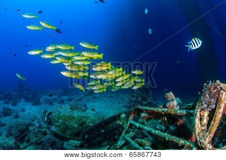 Yellow Snapper near an underwater wreck