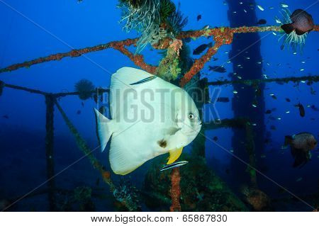 Spadefish (batfish) Being Cleaned By Cleaner Wrasse Underwater