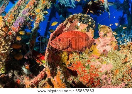 Coral Grouper on a wreck
